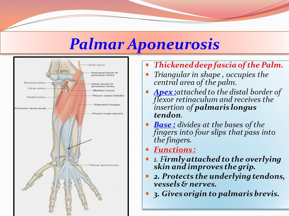 Palmar Aponeurosis Thickened deep fascia of the Palm.