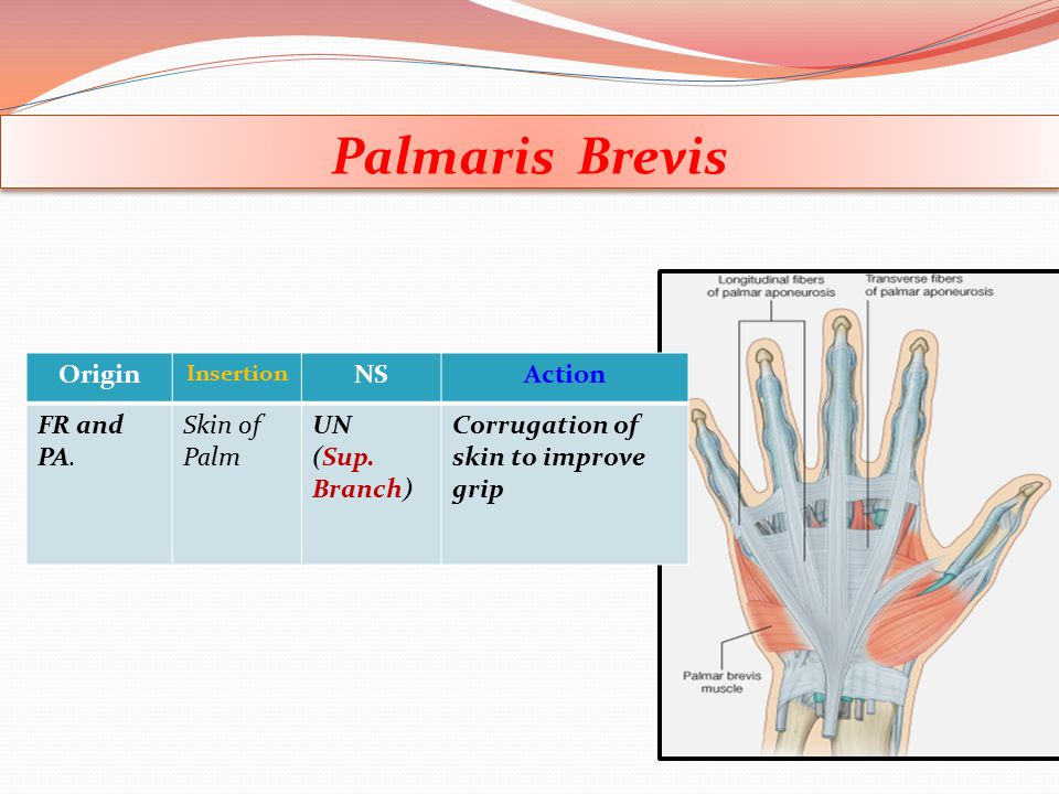 Palmaris Brevis Origin NS Action FR and PA. Skin of Palm UN (Sup.