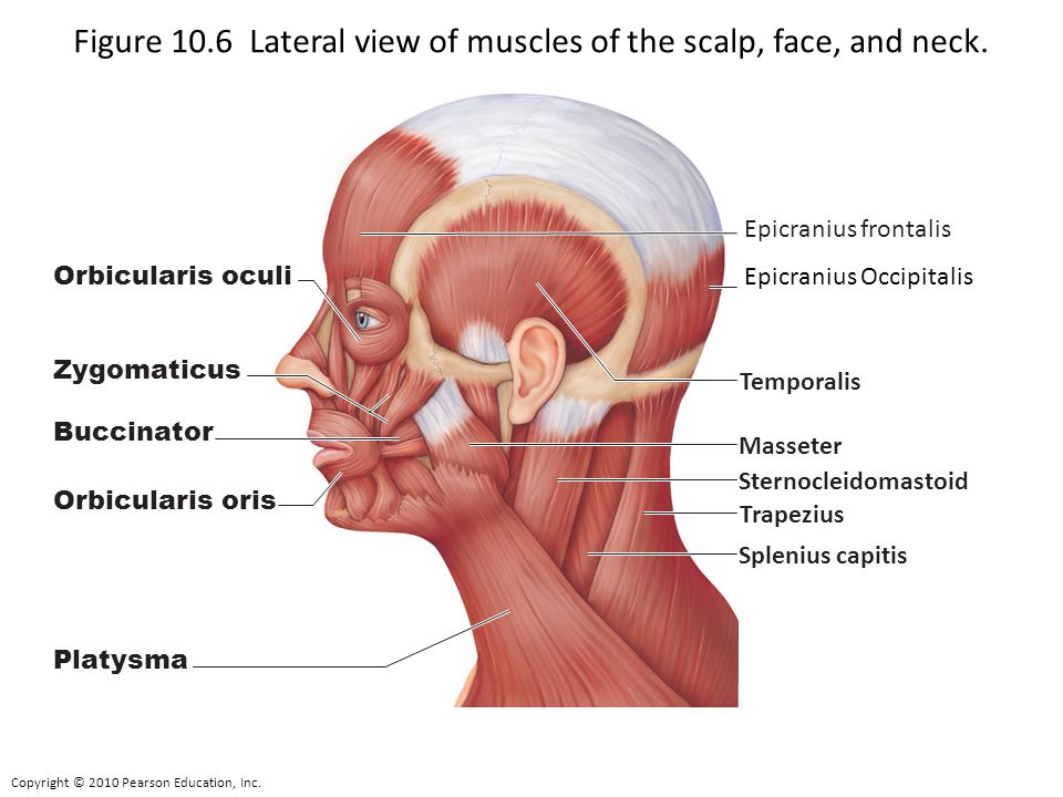 figure 10 6 lateral view of muscles of the scalp  face