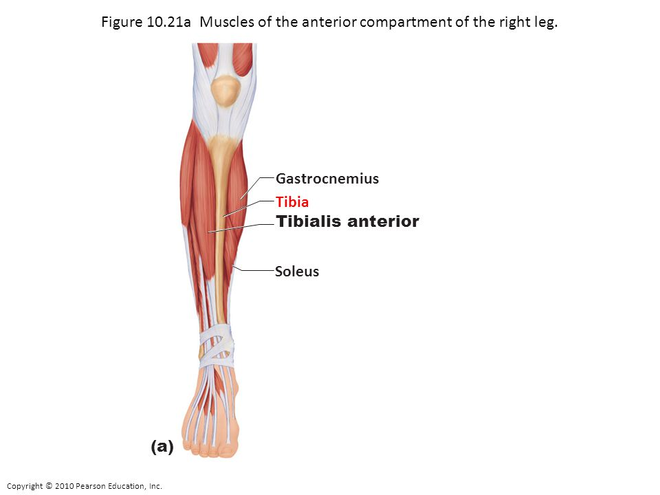 Figure 10.21a Muscles of the anterior compartment of the right leg.