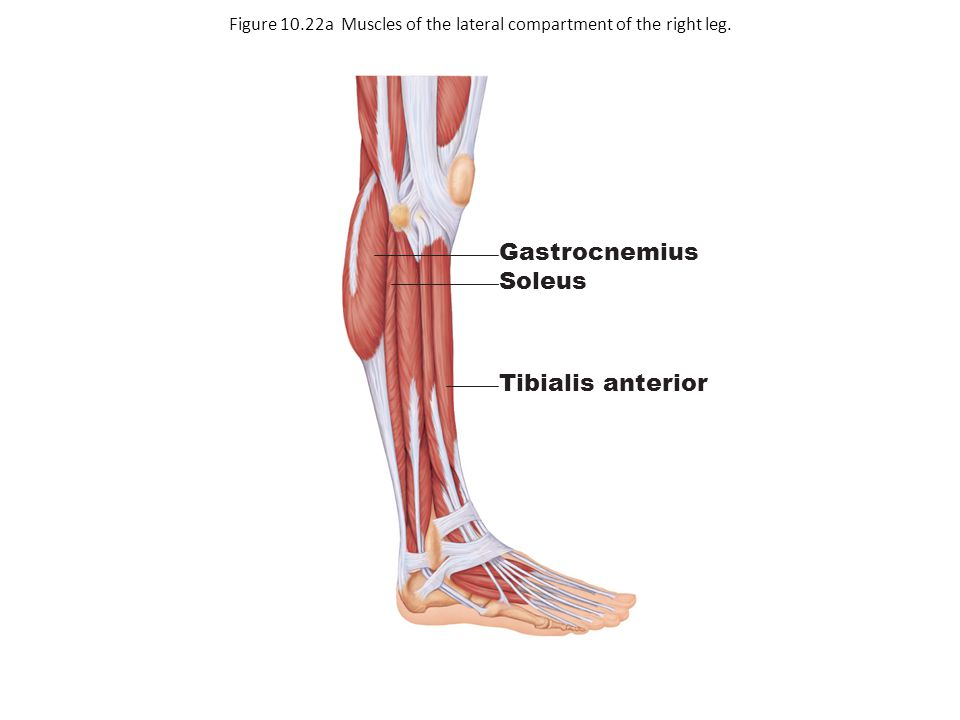 Figure 10.22a Muscles of the lateral compartment of the right leg.