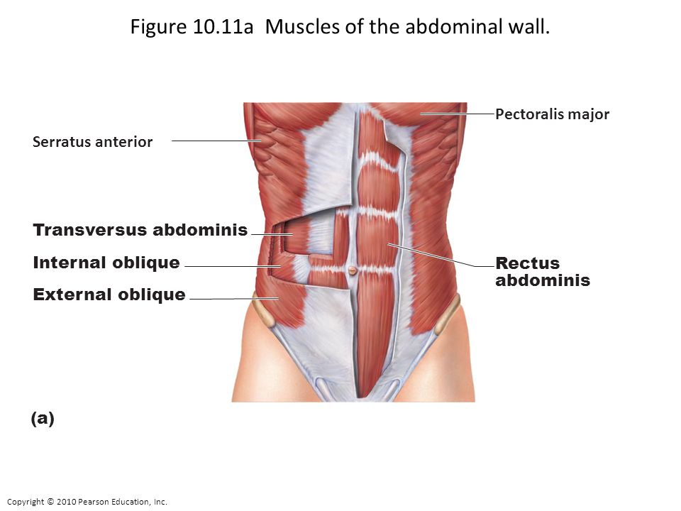 Figure 10.11a Muscles of the abdominal wall.