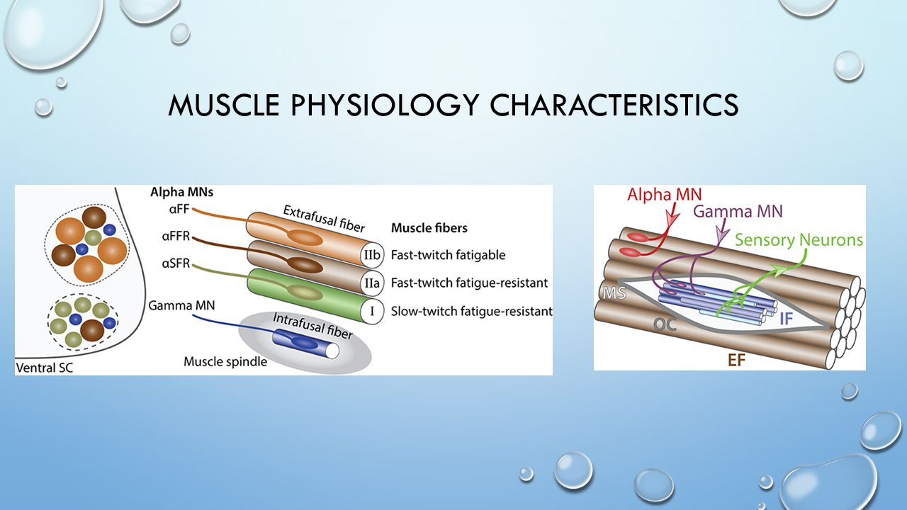 Muscle Physiology Characteristics