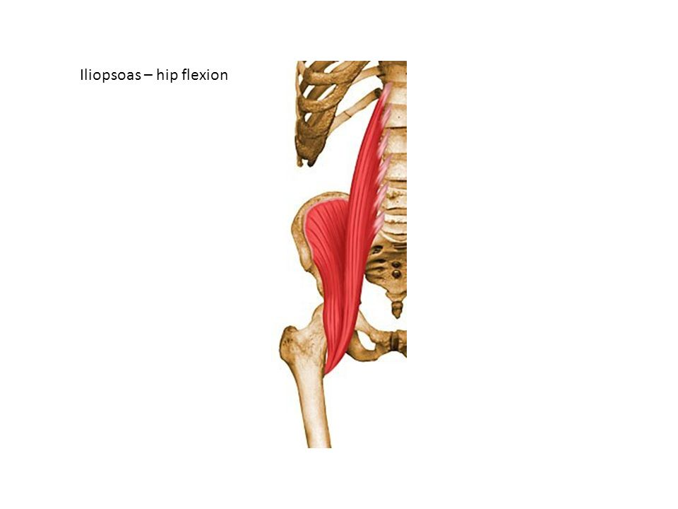 Iliopsoas – hip flexion