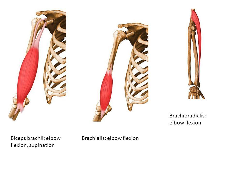 Brachioradialis: elbow flexion