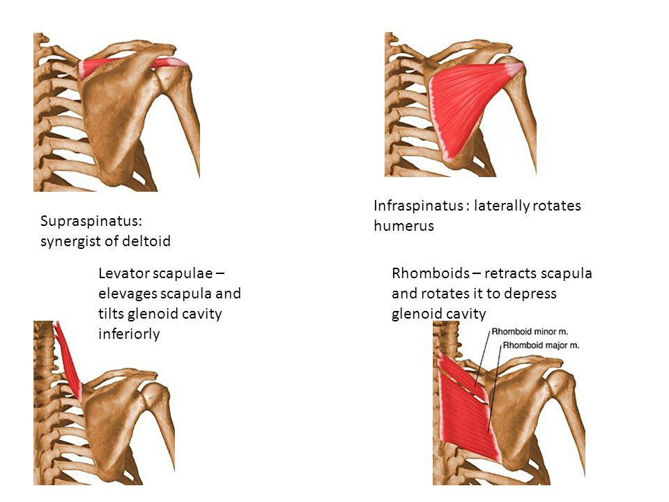 Infraspinatus : laterally rotates humerus