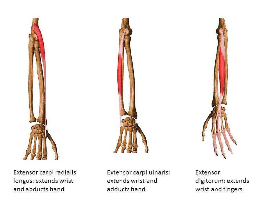 Extensor carpi radialis longus: extends wrist and abducts hand