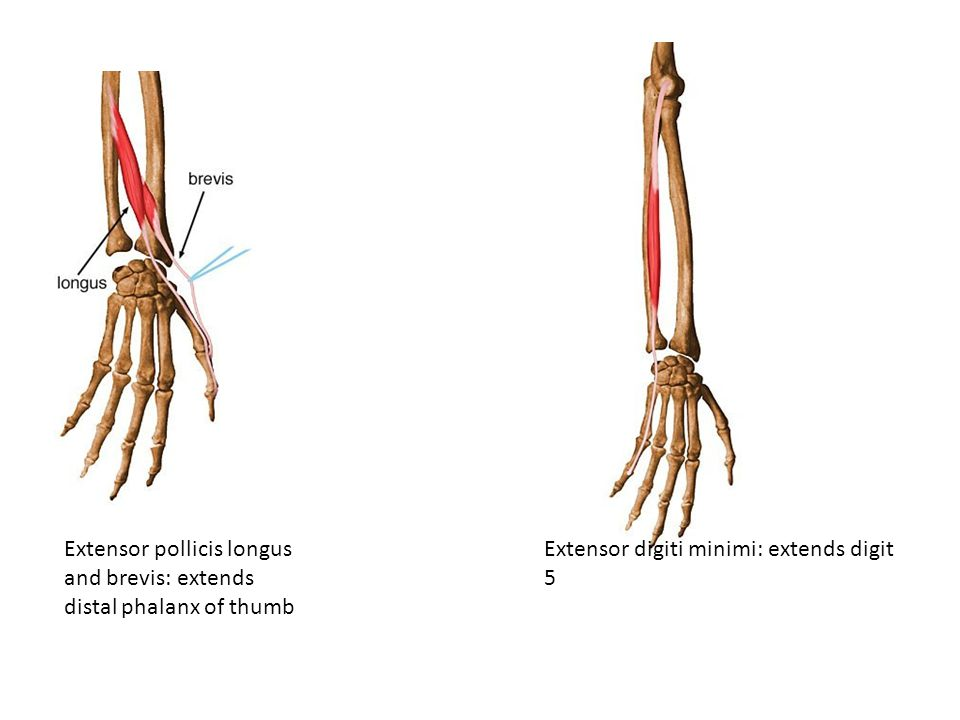 Extensor pollicis longus and brevis: extends distal phalanx of thumb