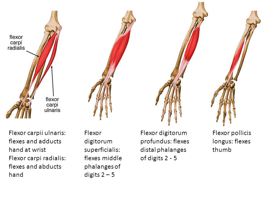 Flexor carpii ulnaris: flexes and adducts hand at wrist