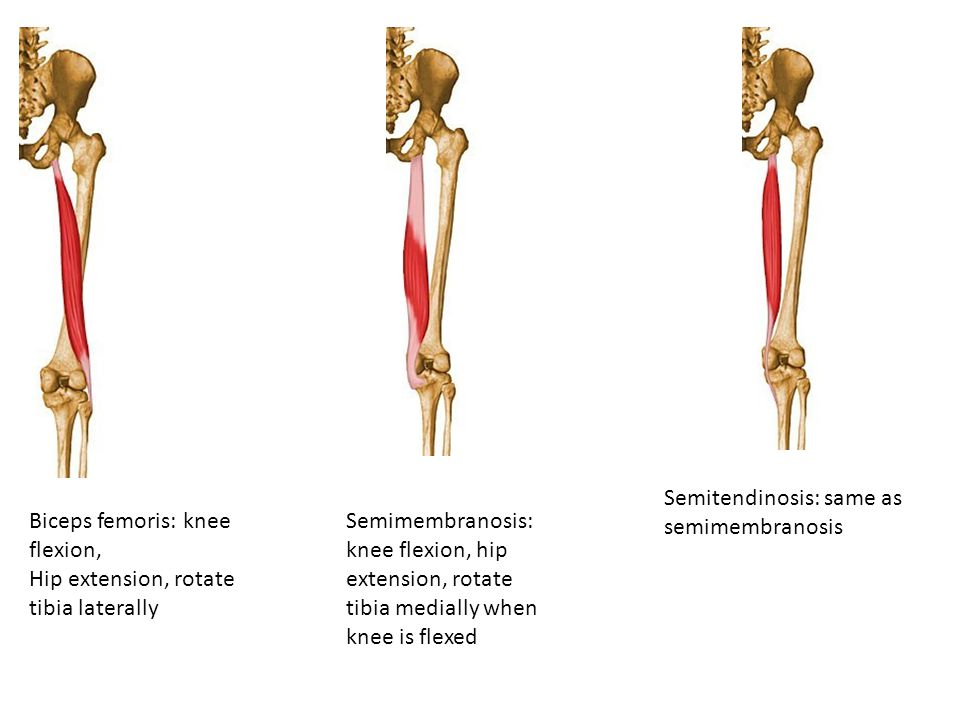 Semitendinosis: same as semimembranosis Biceps femoris: knee flexion,