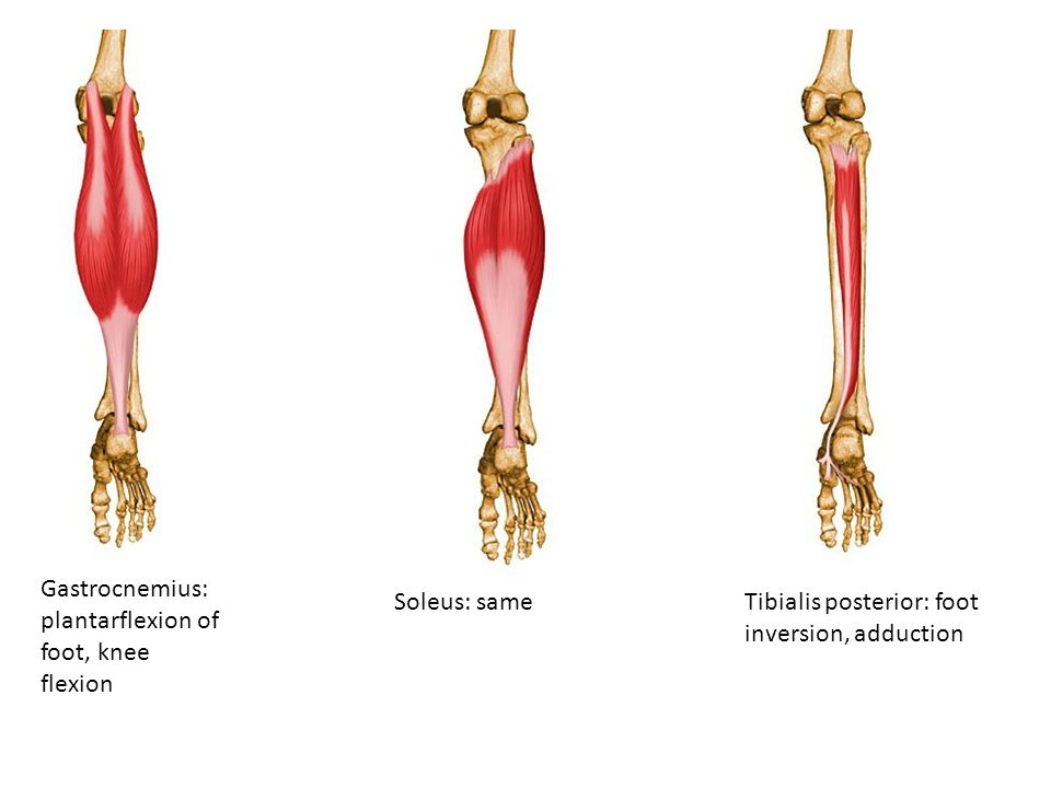 Gastrocnemius: plantarflexion of foot, knee flexion Soleus: same