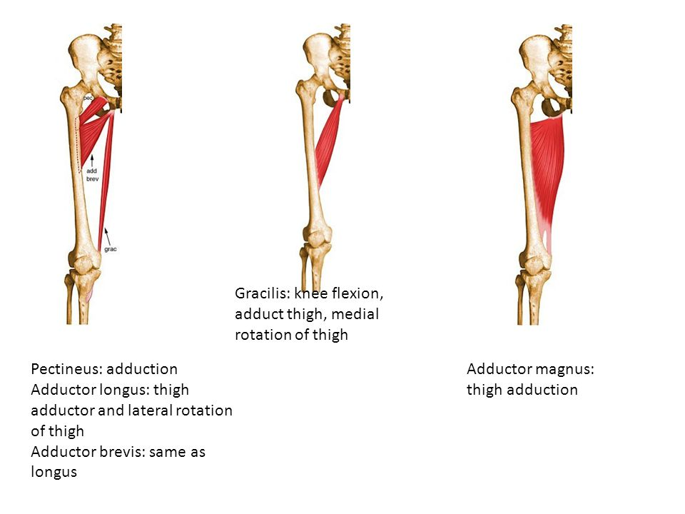 Gracilis: knee flexion, adduct thigh, medial rotation of thigh