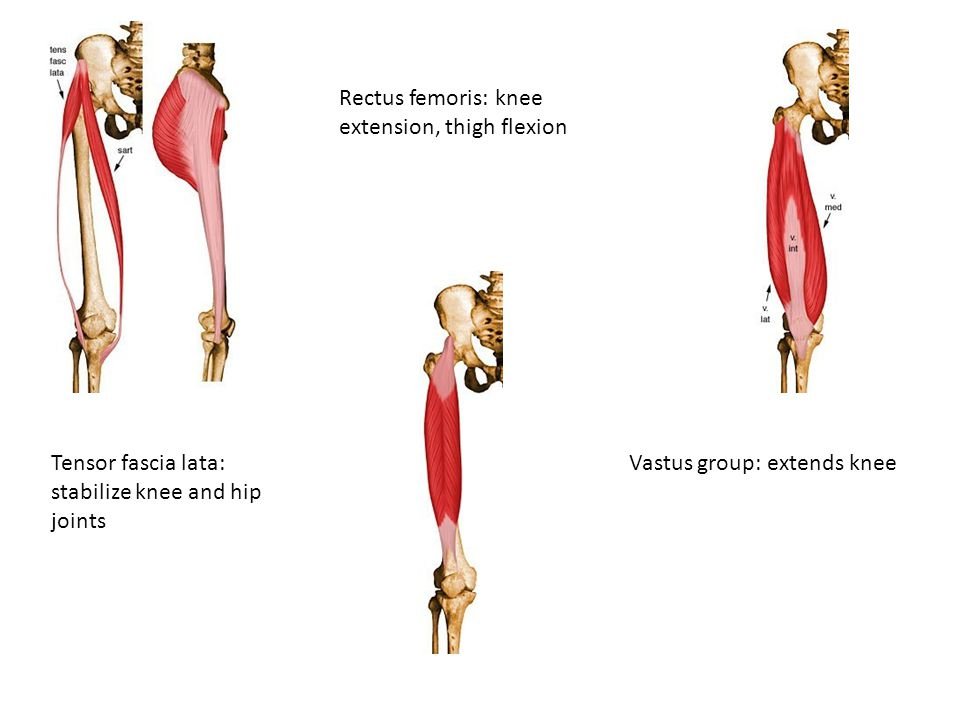 Rectus femoris: knee extension, thigh flexion