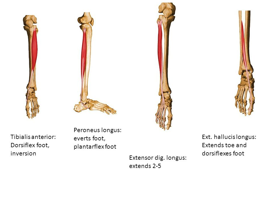 Peroneus longus: everts foot, plantarflex foot Tibialis anterior: