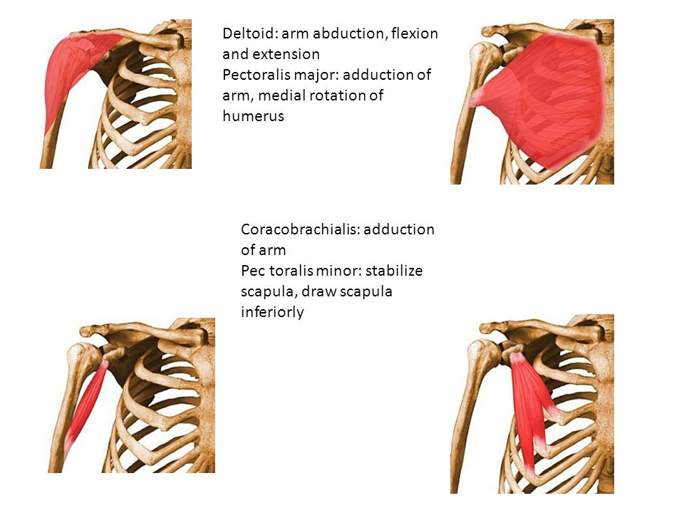 Deltoid: arm abduction, flexion and extension