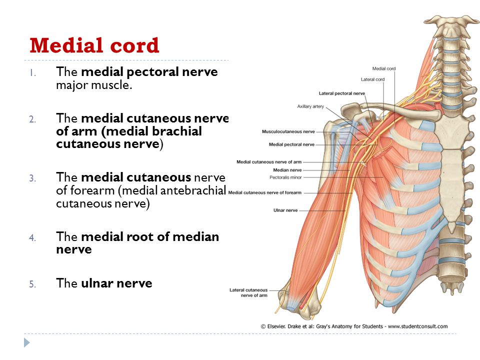 Medial cord The medial pectoral nerve major muscle.