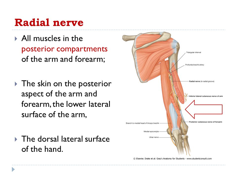 Radial nerve All muscles in the posterior compartments of the arm and forearm;