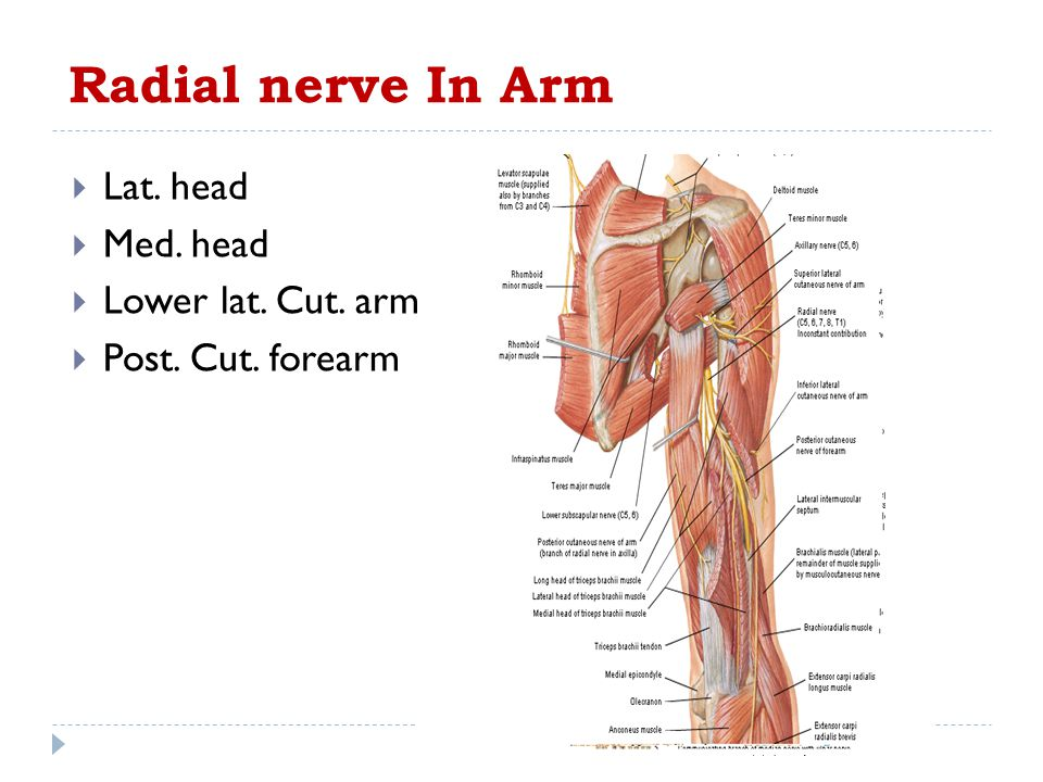 Radial nerve In Arm Lat. head Med. head Lower lat. Cut. arm