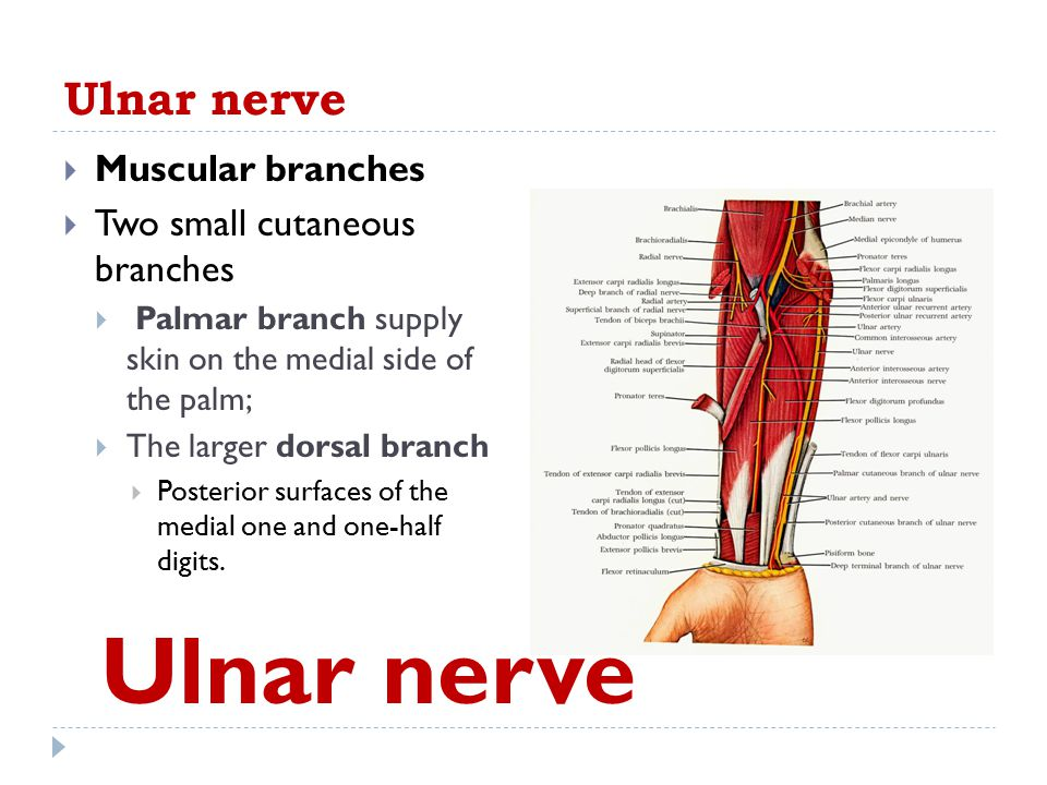Ulnar nerve Ulnar nerve Muscular branches Two small cutaneous branches