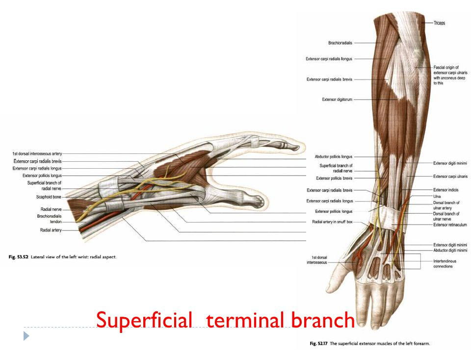 Superficial terminal branch