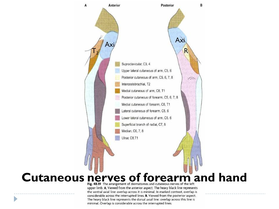 Cutaneous nerves of forearm and hand