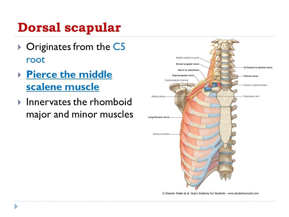 Dorsal scapular Originates from the C5 root