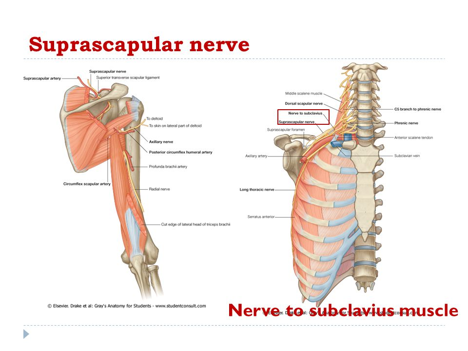 Suprascapular nerve Nerve to subclavius muscle