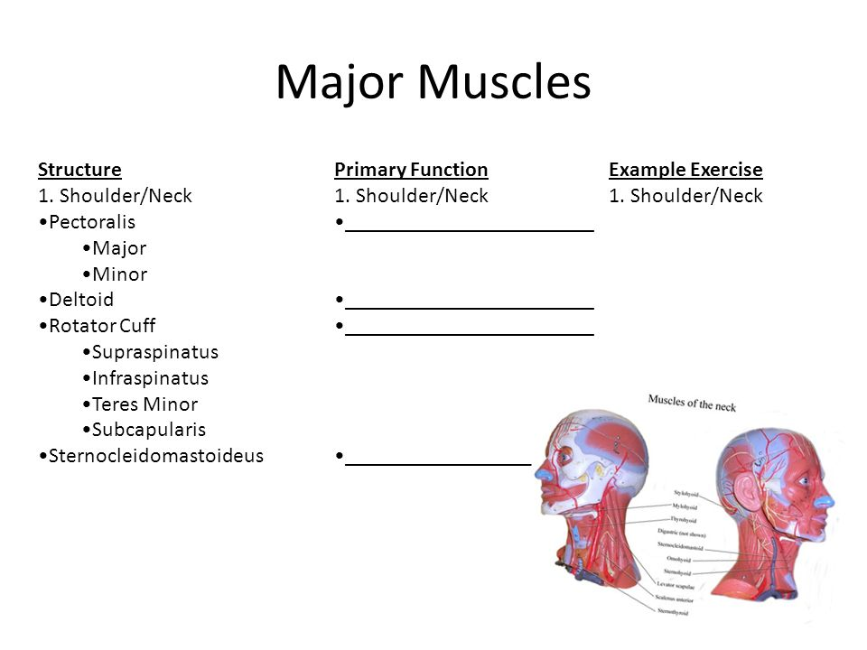 Major Muscles Structure 1. Shoulder/Neck Pectoralis Major Minor