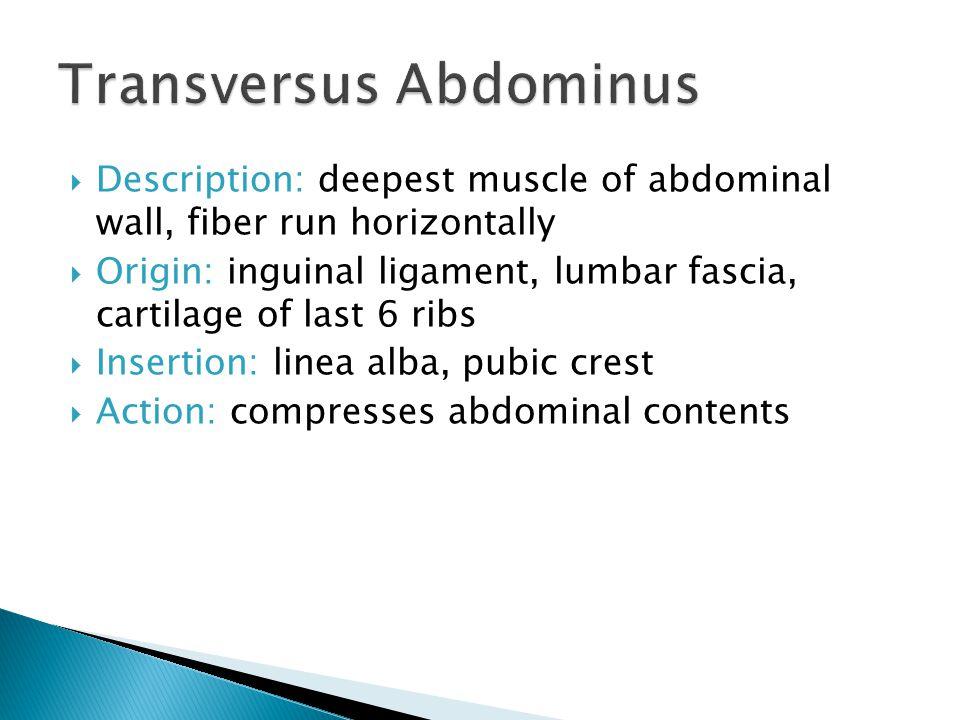 Transversus Abdominus