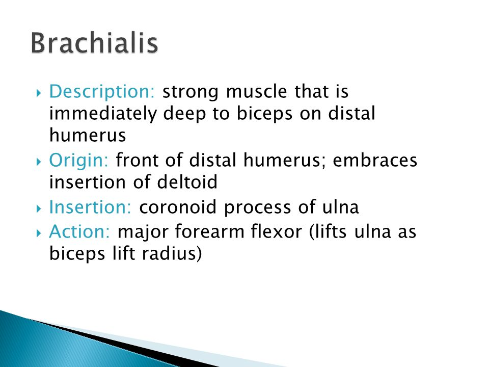 Brachialis Description: strong muscle that is immediately deep to biceps on distal humerus.