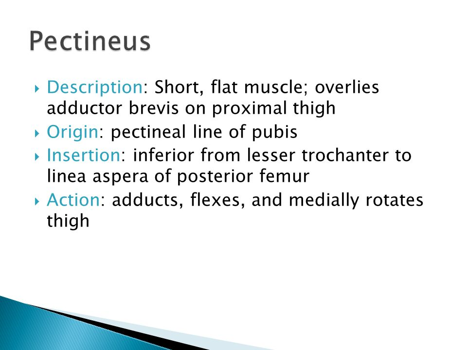 Pectineus Description: Short, flat muscle; overlies adductor brevis on proximal thigh. Origin: pectineal line of pubis.