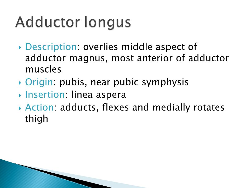 Adductor longus Description: overlies middle aspect of adductor magnus, most anterior of adductor muscles.