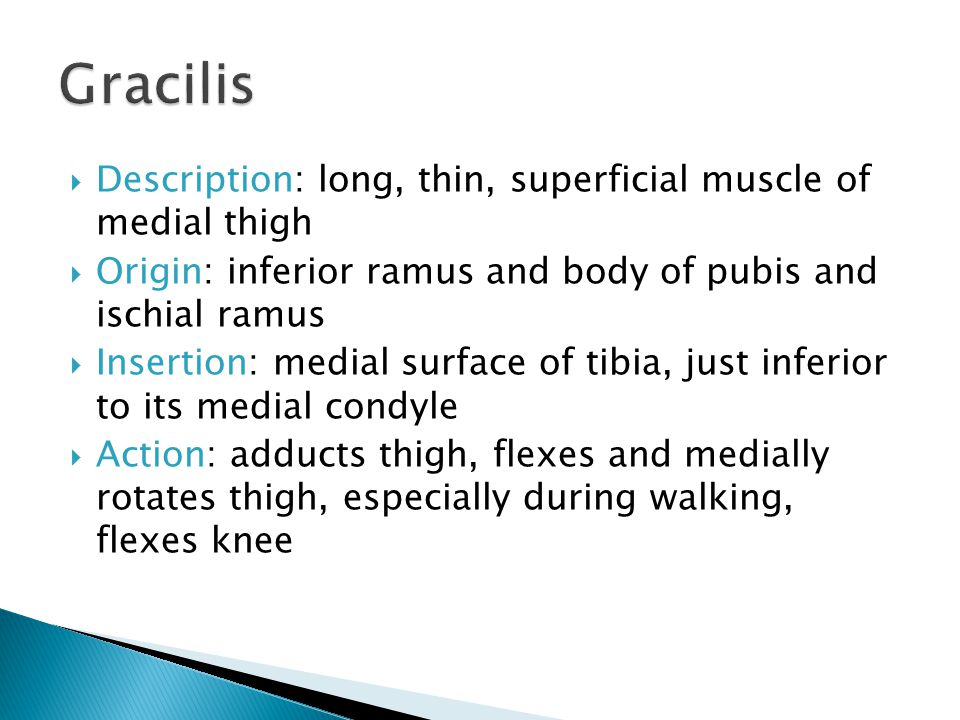 Gracilis Description: long, thin, superficial muscle of medial thigh