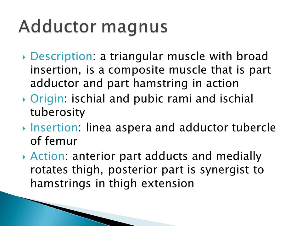 Adductor magnus Description: a triangular muscle with broad insertion, is a composite muscle that is part adductor and part hamstring in action.