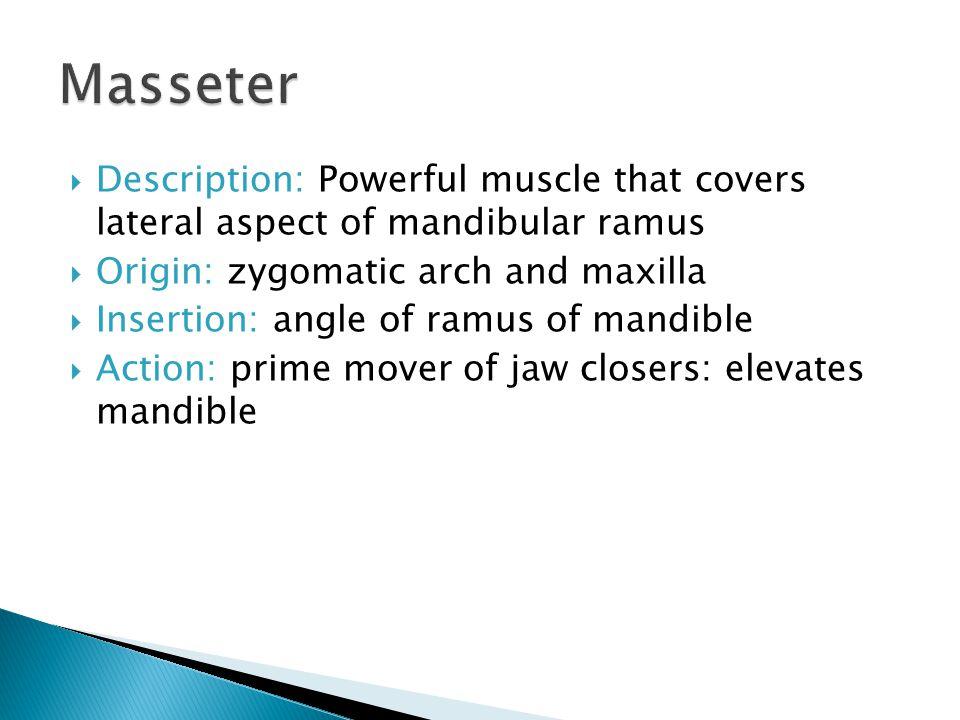 Masseter Description: Powerful muscle that covers lateral aspect of mandibular ramus. Origin: zygomatic arch and maxilla.