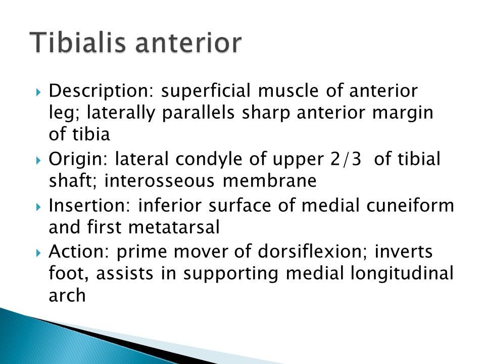 Tibialis anterior Description: superficial muscle of anterior leg; laterally parallels sharp anterior margin of tibia.