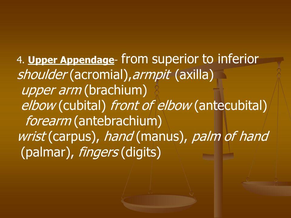 shoulder (acromial),armpit (axilla) upper arm (brachium)