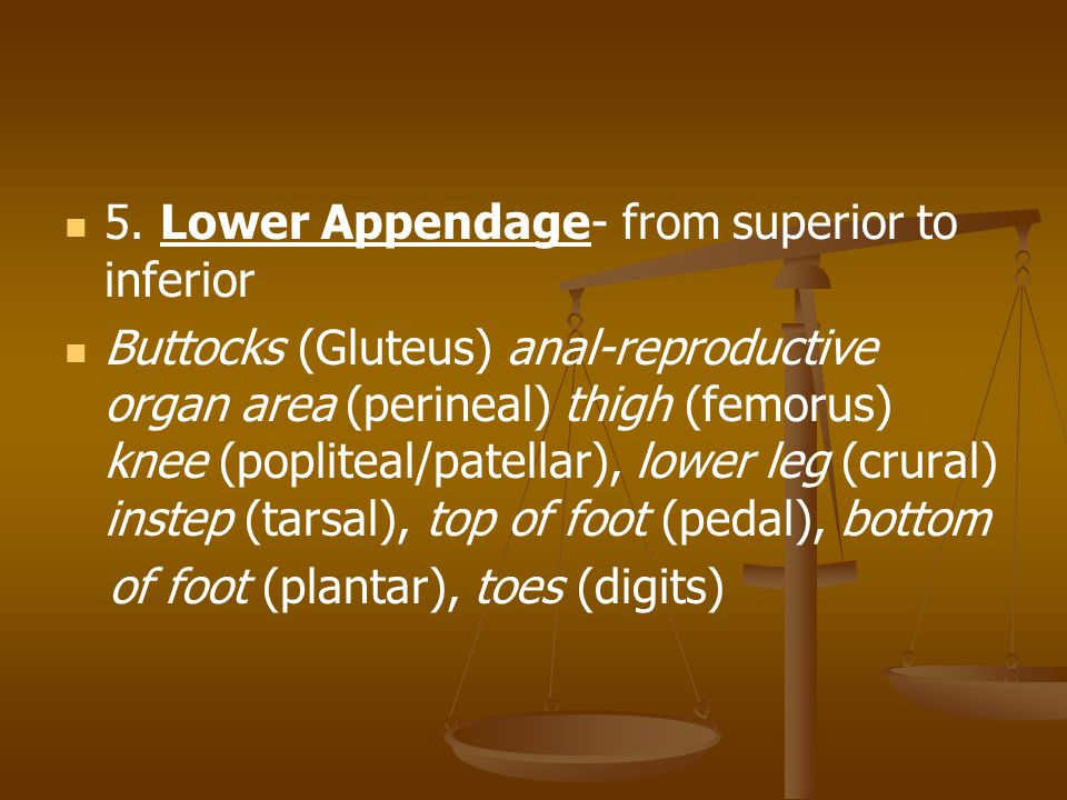 5. Lower Appendage- from superior to inferior