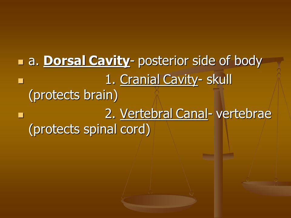 a. Dorsal Cavity- posterior side of body