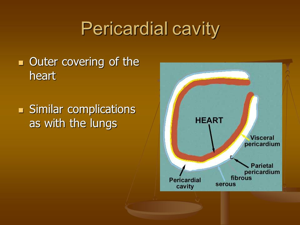 Pericardial cavity Outer covering of the heart