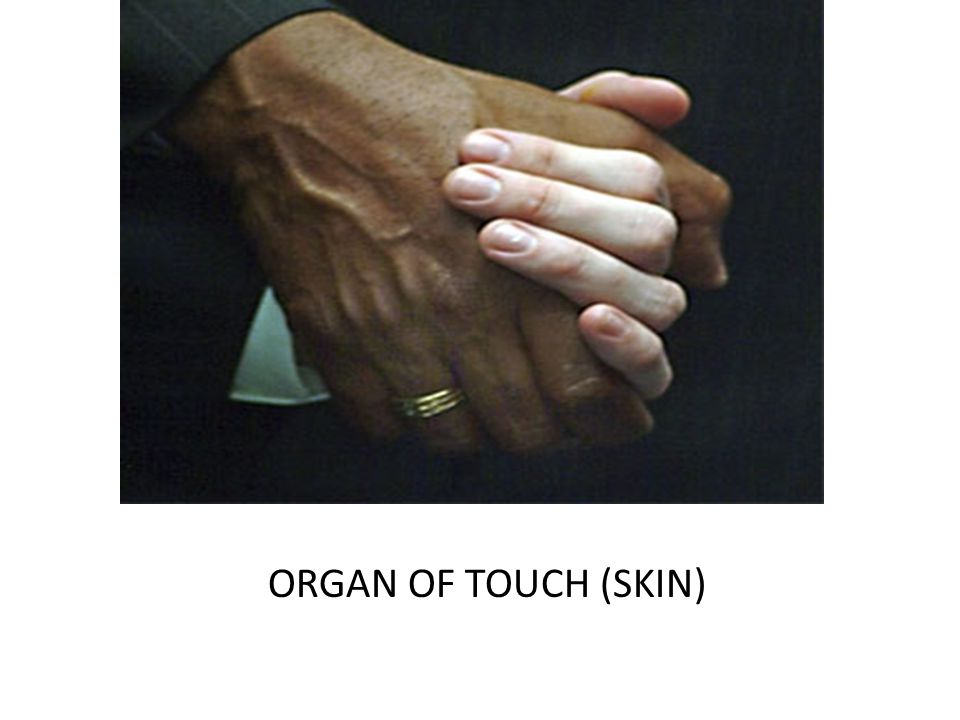 ORGAN OF TOUCH (SKIN)