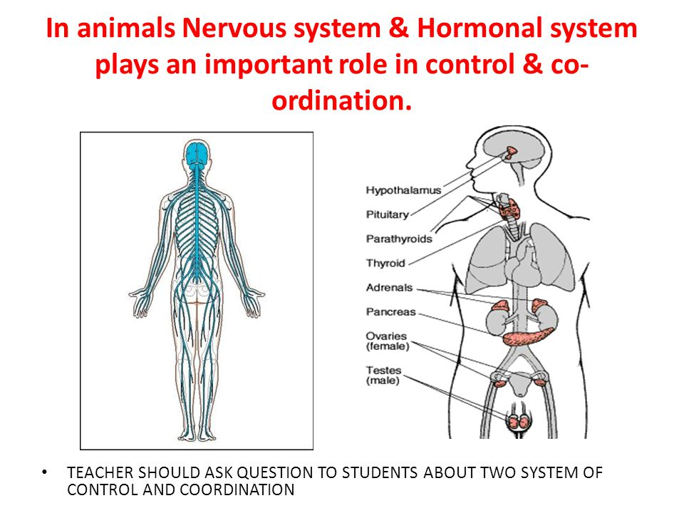In animals Nervous system & Hormonal system plays an important role in control & co-ordination.