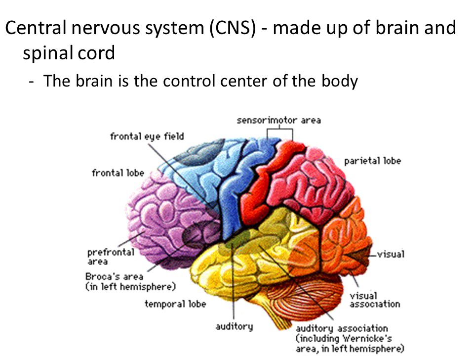Central nervous system (CNS) - made up of brain and spinal cord