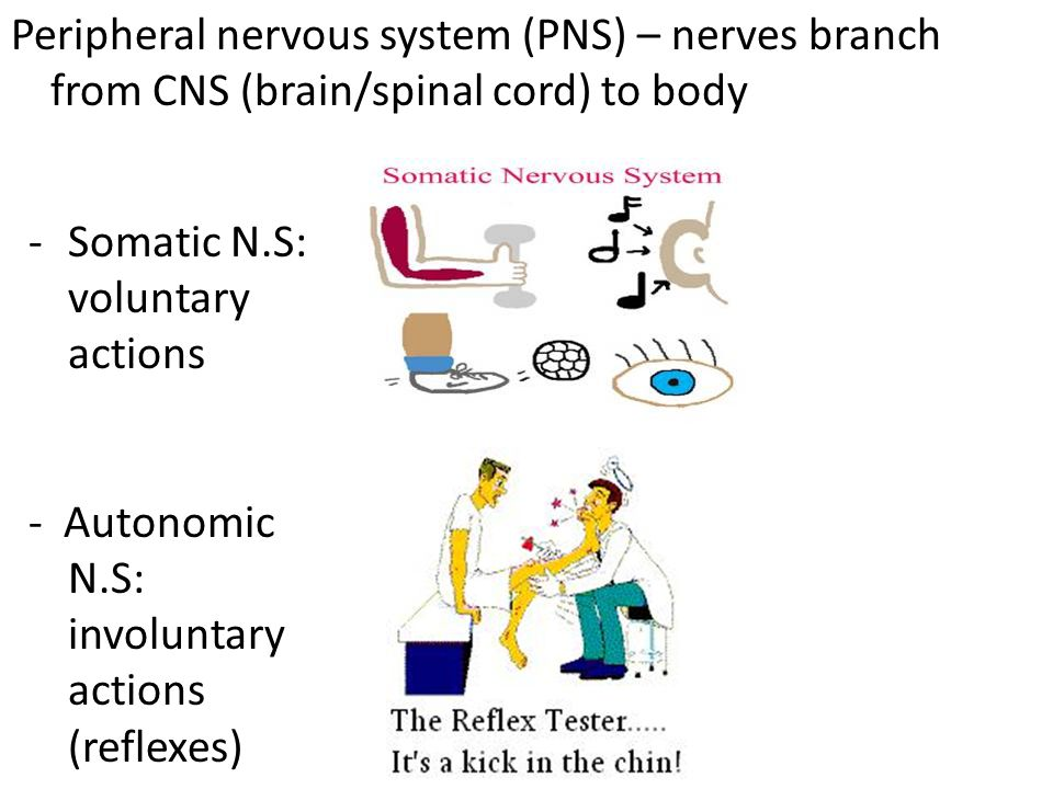 Peripheral nervous system (PNS) – nerves branch from CNS (brain/spinal cord) to body