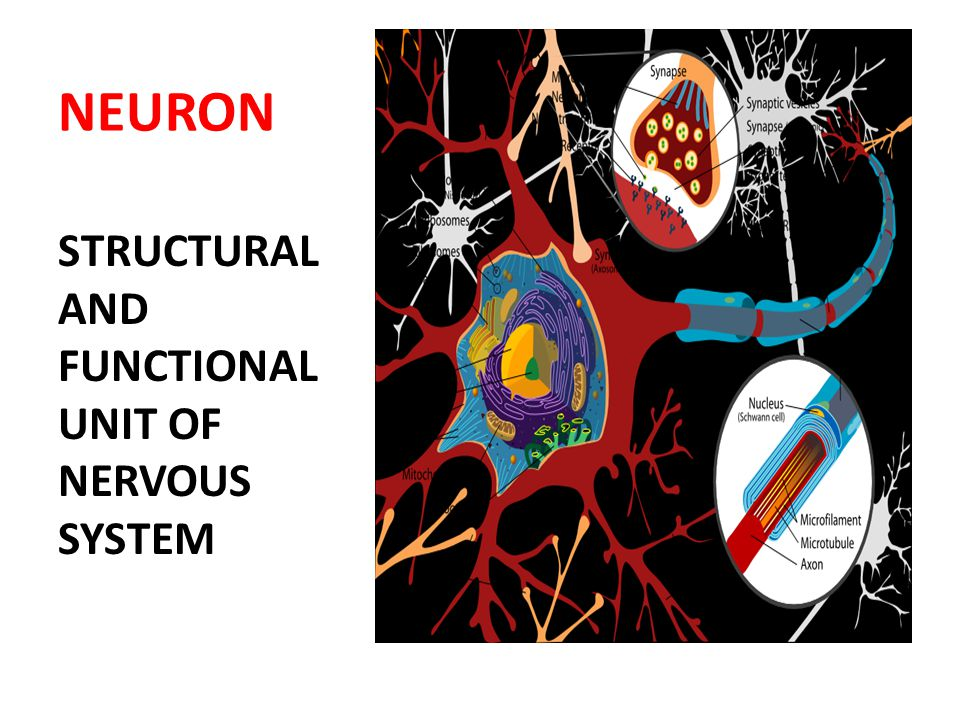 NEURON STRUCTURAL AND FUNCTIONAL UNIT OF NERVOUS SYSTEM