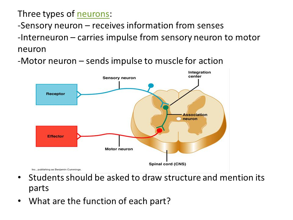 Three types of neurons: -Sensory neuron – receives information from senses -Interneuron – carries impulse from sensory neuron to motor neuron -Motor neuron – sends impulse to muscle for action