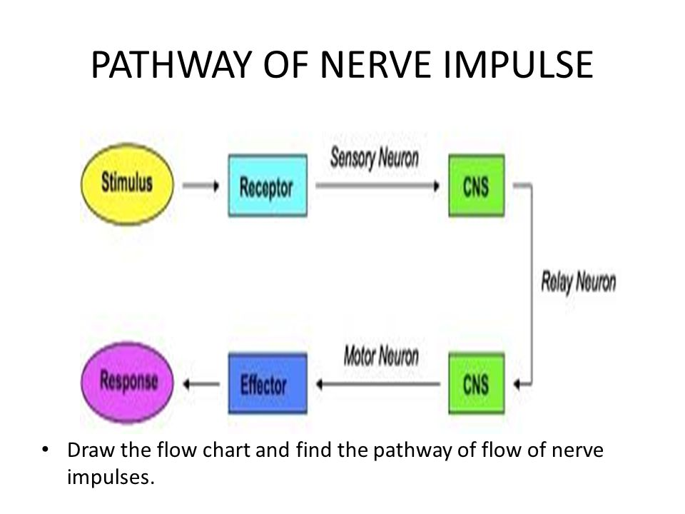 PATHWAY OF NERVE IMPULSE