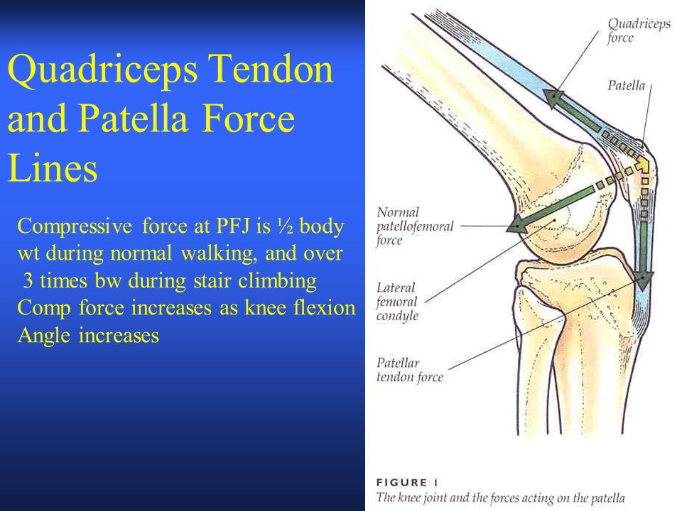 Quadriceps Tendon and Patella Force Lines