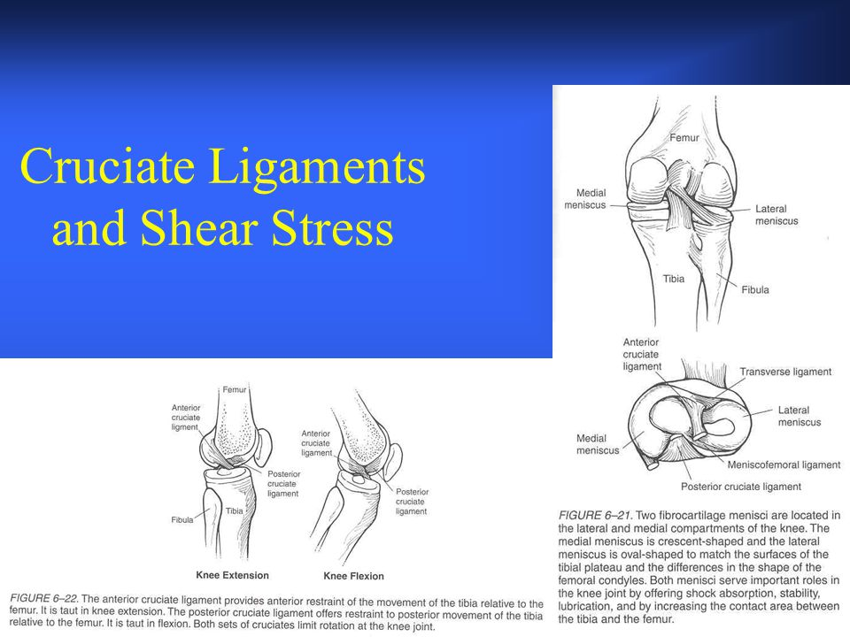 Cruciate Ligaments and Shear Stress