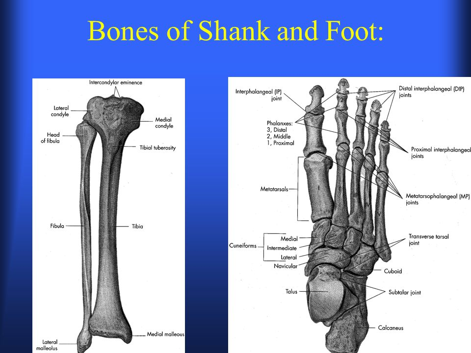 Bones of Shank and Foot: